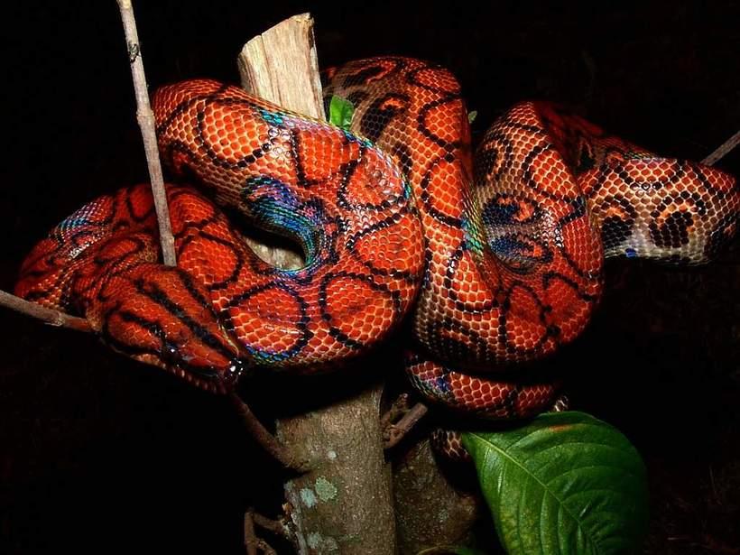 Радужный удав - самая красивая змея в мире
