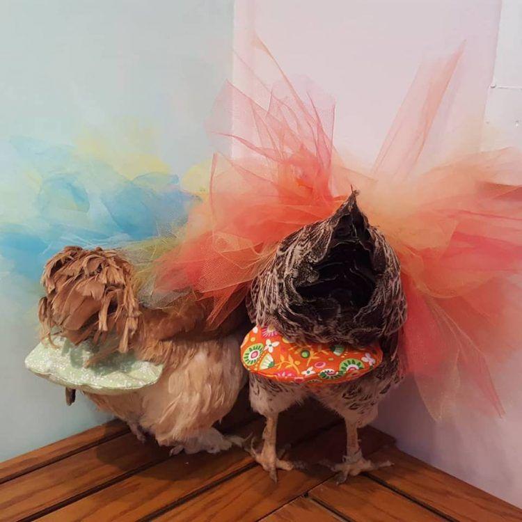 Дамочка придумала подгузники для кур, и теперь у нее успешный бизнес