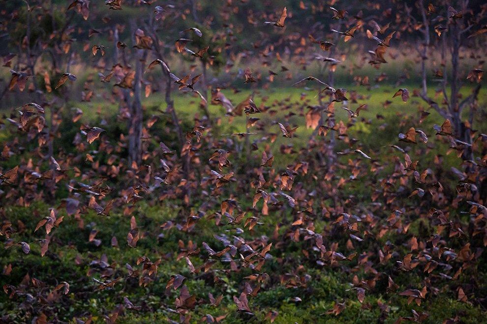 Удивительные снимки миграции летучих мышей