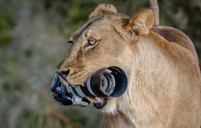 Камера женщины-фотографа побывала в львиной пасти