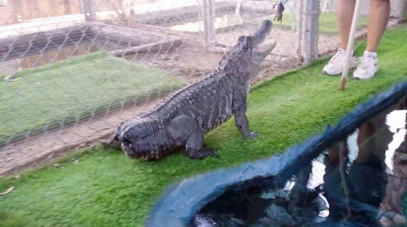 Аллигатору без хвоста напечатали протез на 3D-принтере