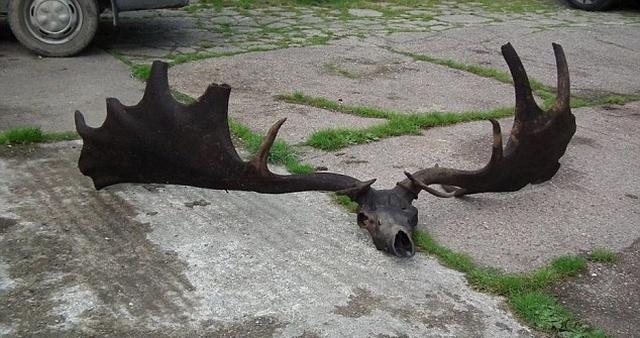 Рыбак достал из озера необычный череп лося