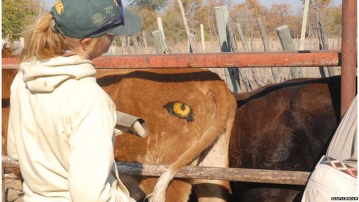 Зачем ботсванским коровам глаза по обе стороны хвоста
