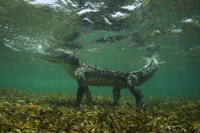 Как выглядит крокодил под водой