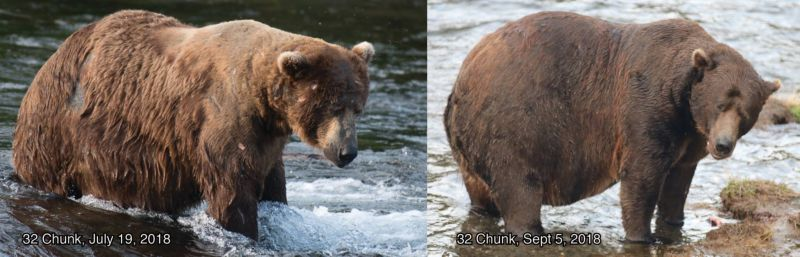 Медведи Аляски располнели к зиме