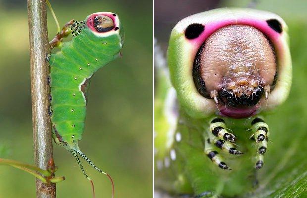 Одни из самых необычных насекомых
