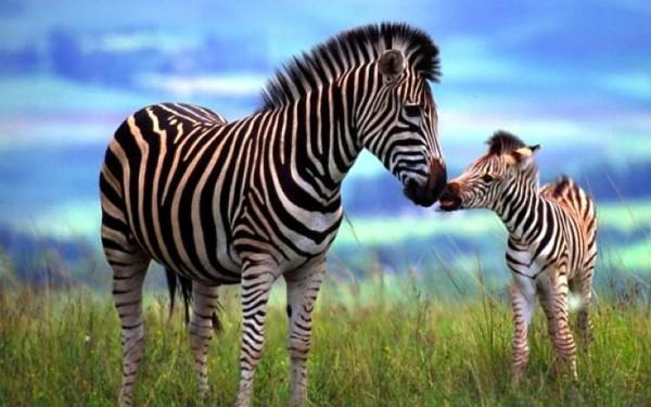 Мамина любовь в мире животных