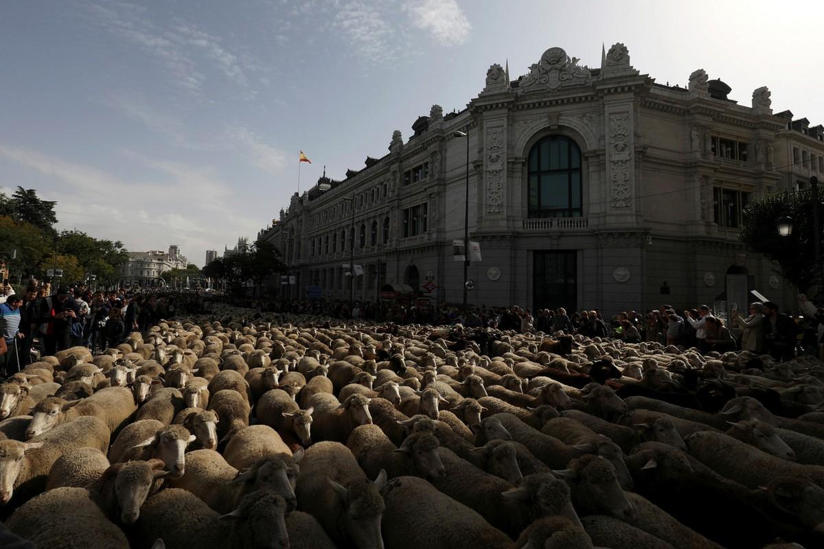 Сотни баранов в центре Мадрида на фестивале перегона скота