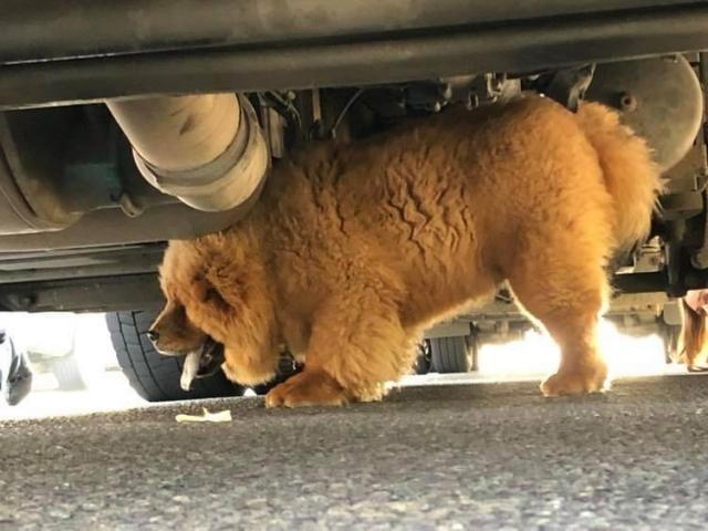 Милый щенок Чау-Чау стал опасным преступником