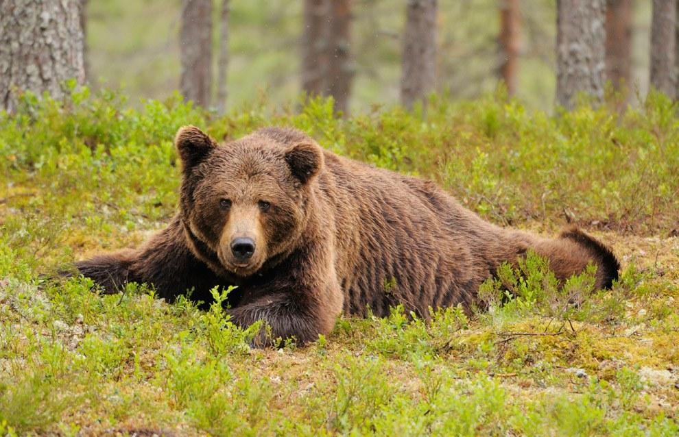 Бурые медведи финских лесов