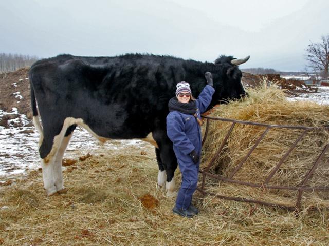 Дозер - огромный бык из Канады с ростом в 196 сантиметром