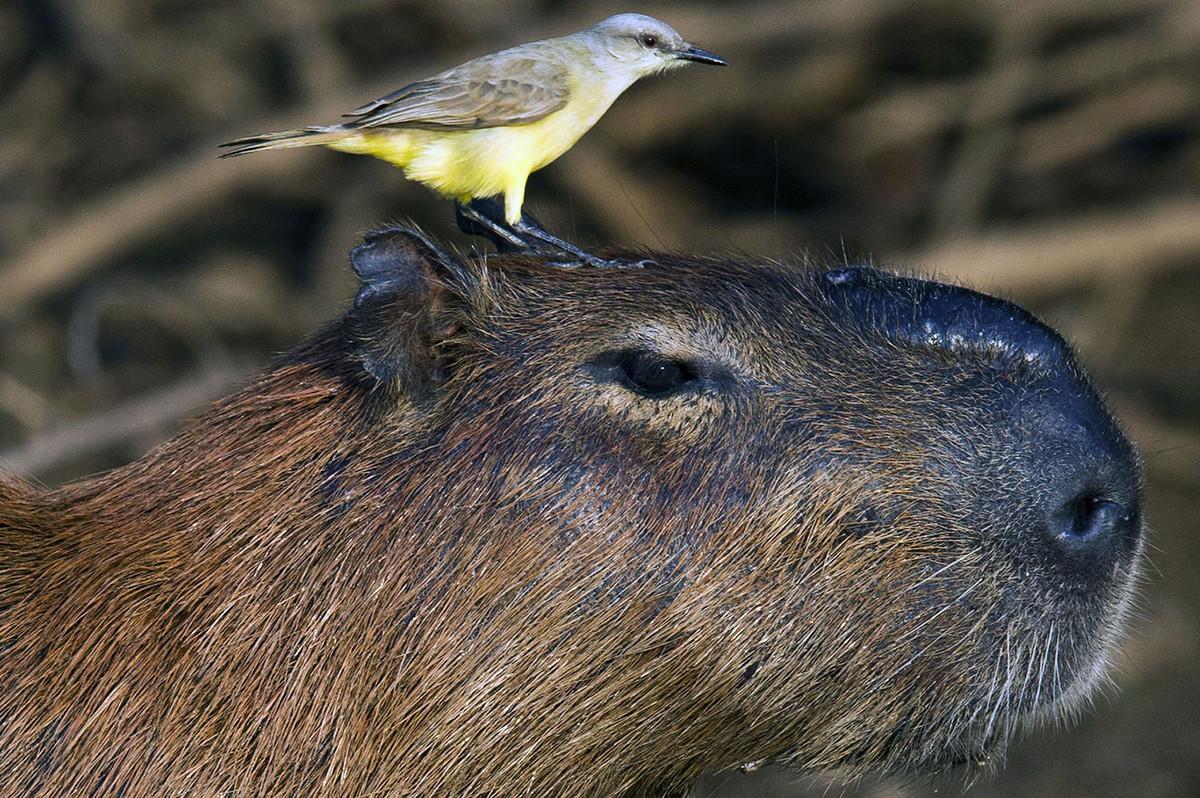 Капибары - с ними все хотят дружить