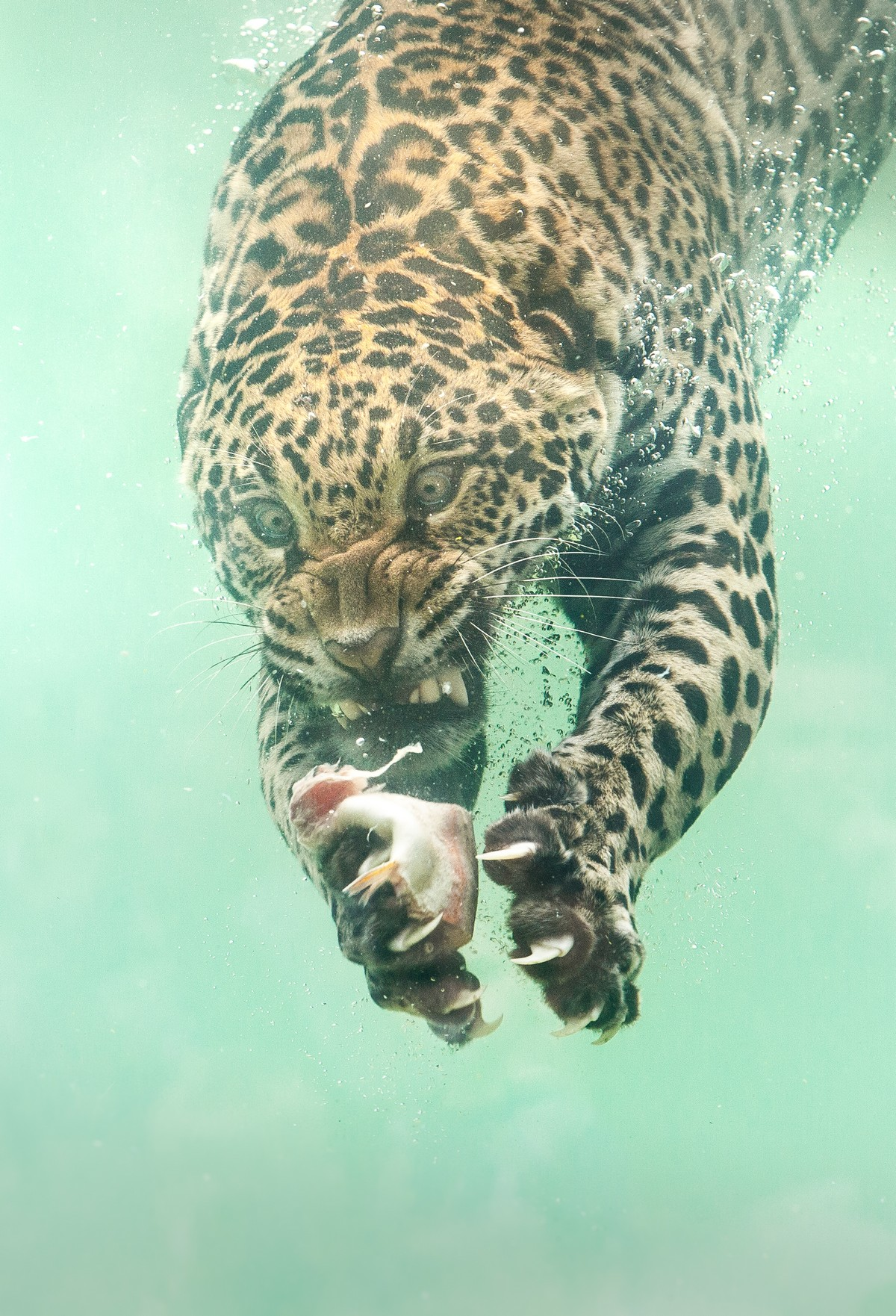 Ягуар ныряет в воду за едой