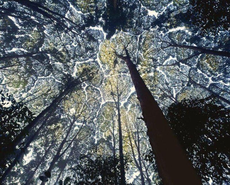 A fák koronájának félénksége a képeken