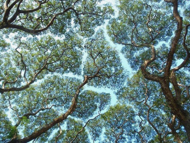 Застенчивость кроны у деревьев на снимках