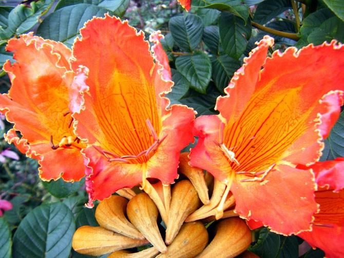 Csodálatos afrikai tulipánfa - spatode
