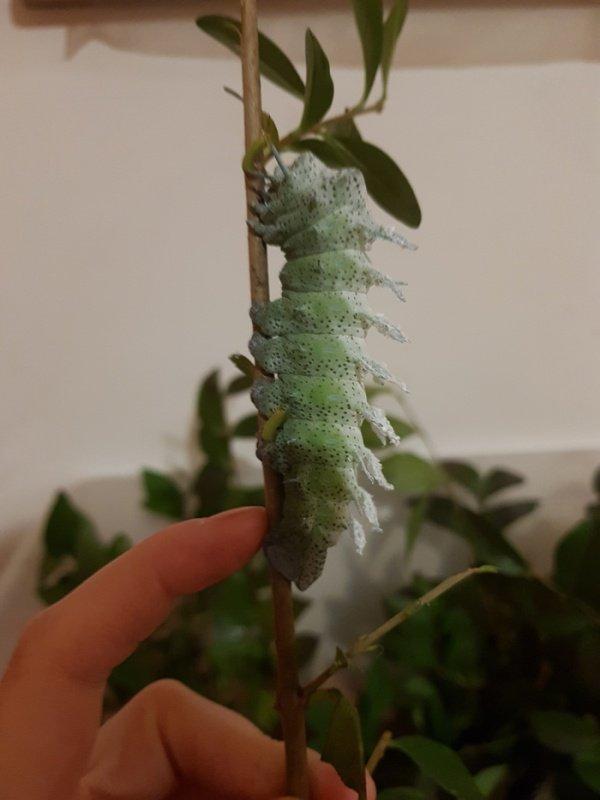 Выведение бабочек Павлиноглазка атлас в домашних условиях