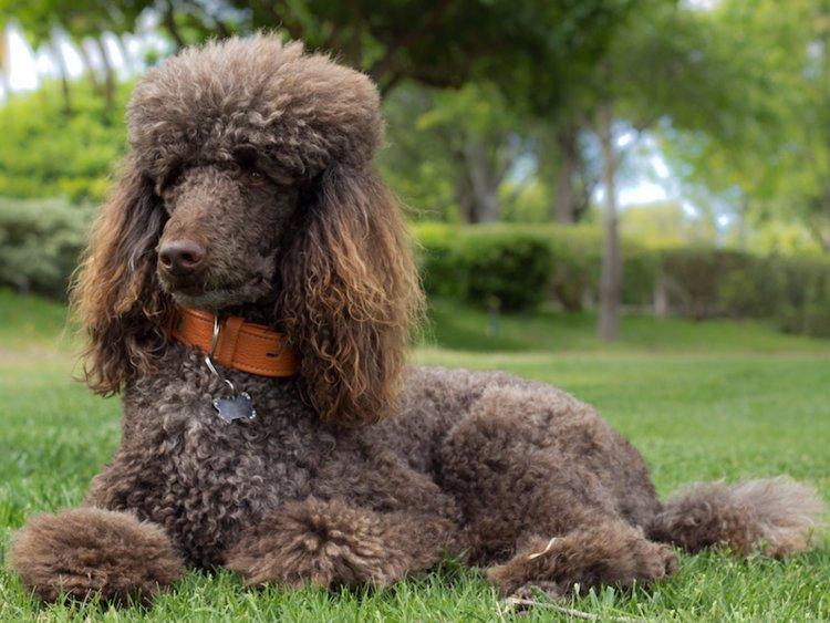 Породы собак, которые гипоаллергенны и подходят людям с аллергией