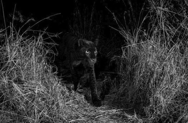Впервые за 100 лет удалось заснять черного леопарда