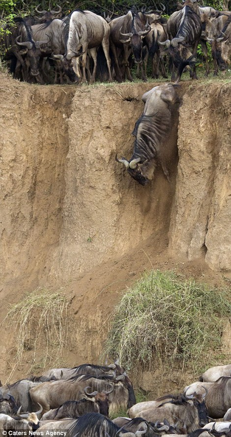 Опасная миграция Гну