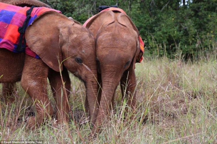 Осиротевшие слонята стали неразлучными друзьями