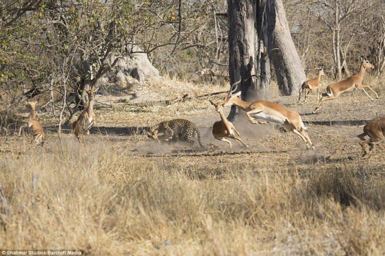 Удивительный прыжок леопарда во время охоты