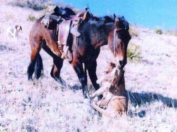 Схватка пумы и мула - у хищника не было шансов