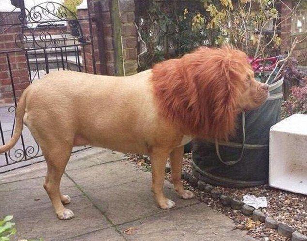 Никто не будет охранять ваш дом лучше льва