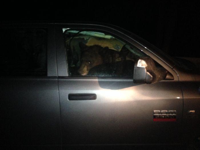 Чтобы заснуть в автомобиле, медведям приходится долго наводить в салоне порядок