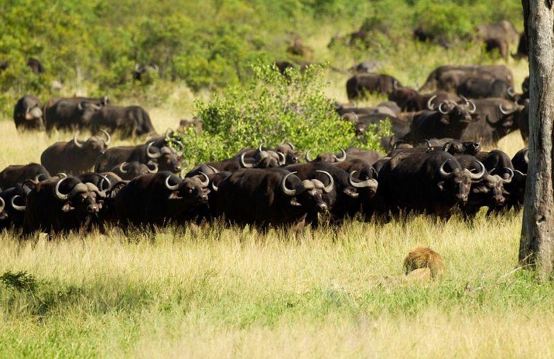 Лев, попавший в стадо буйволов, обречен на смерть