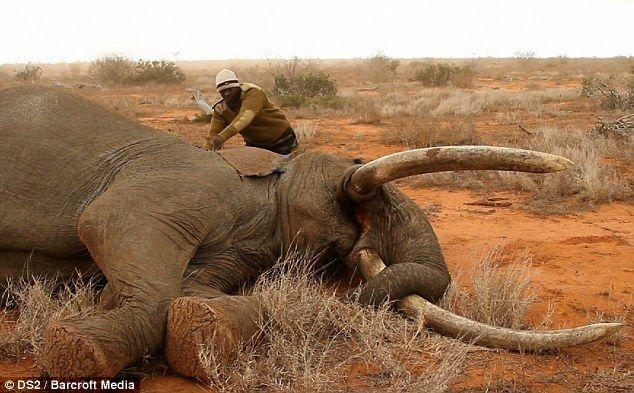 Спасение слона, раненного ядовитой стрелой