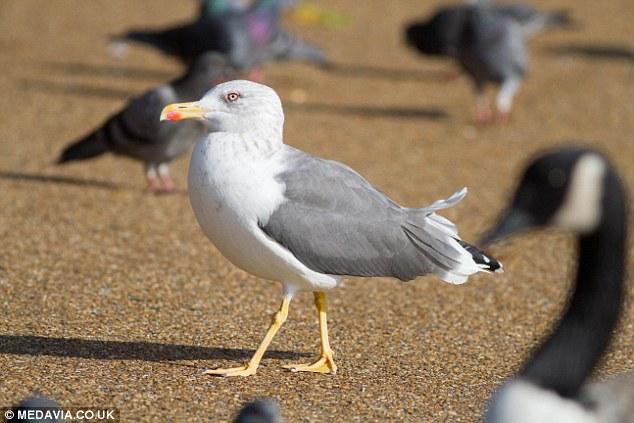 Чайка - убийца голубя