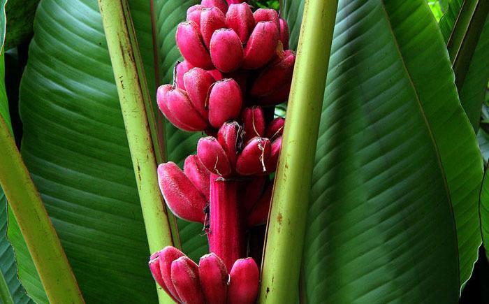 Обзор редких и необычных сортов бананов