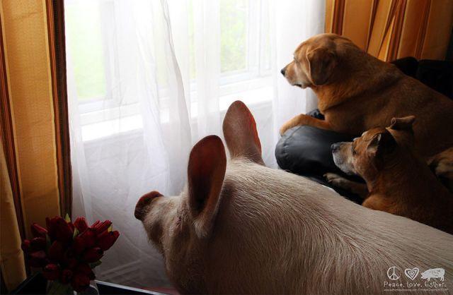 Завели дома декоративную свинку