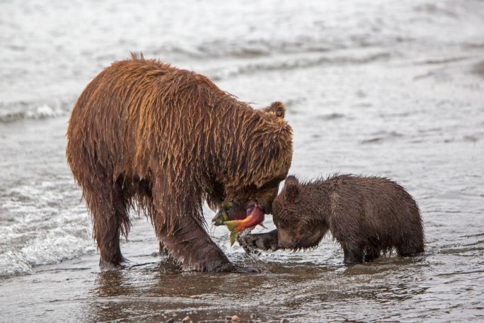 Курильское озеро - медвежий поселок