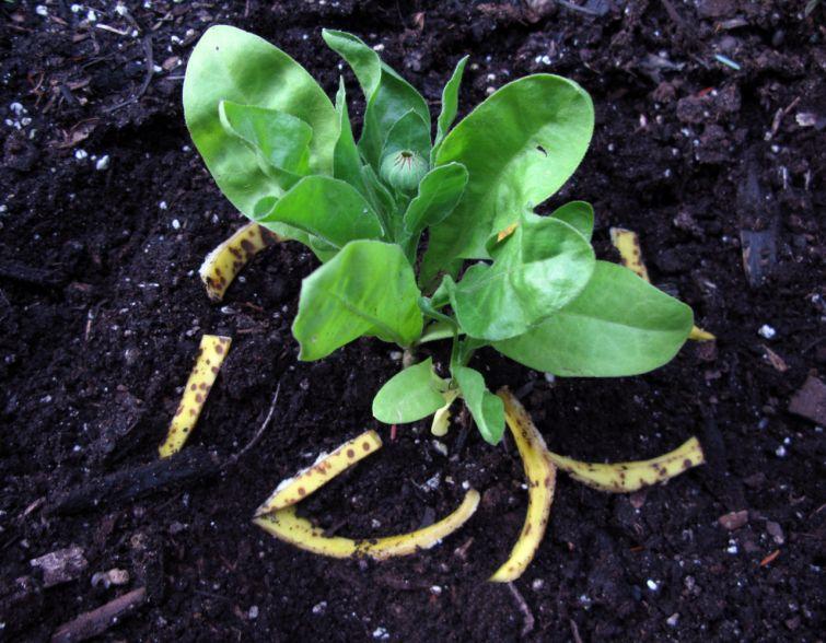 10 необычных применений банановой кожуры