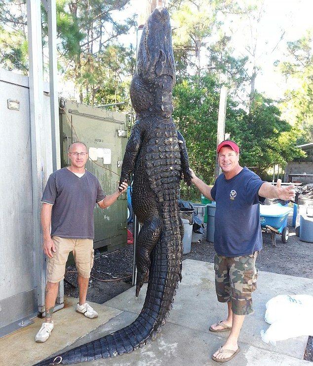 Выловили 350-килограммого аллигатора голыми руками