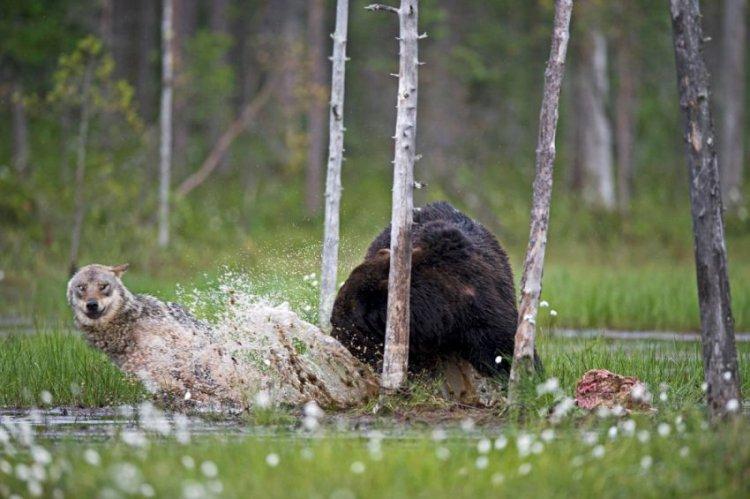 Волки напали на медведя