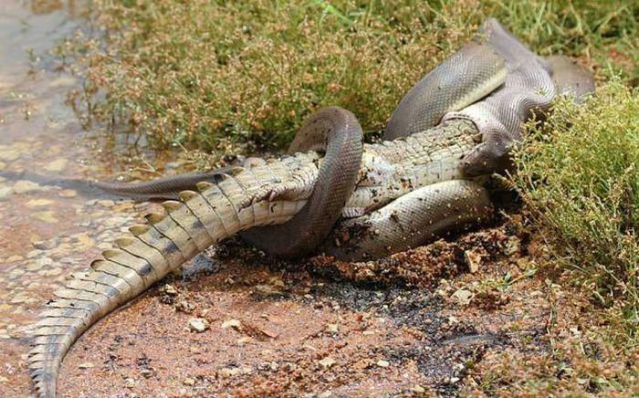 Питон проглотил крокодила