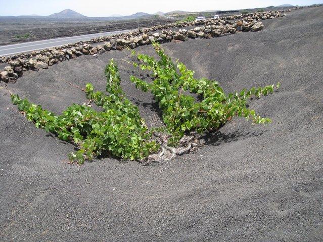 Необычные виноградники на острове Лансароте