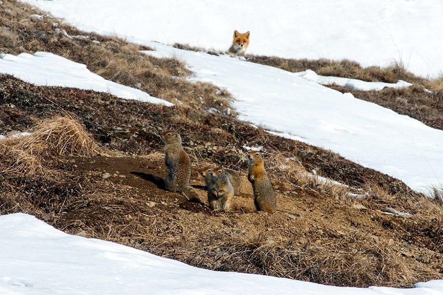 Красивые лисы Чукотки