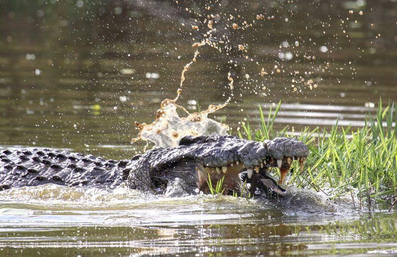 Водяная черепаха практически стала завтраком крокодила