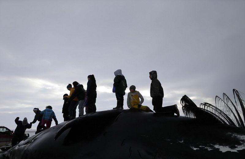 Капитан охотничьего судна притащил к берегу огромного кита