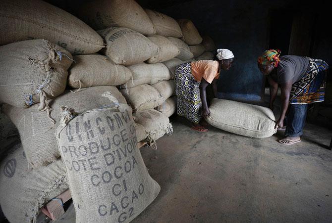 Как выращивают какао в Африке