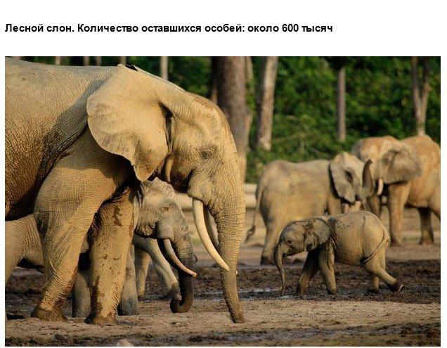 Дикие животные, вымирающие из-за деятельности человека
