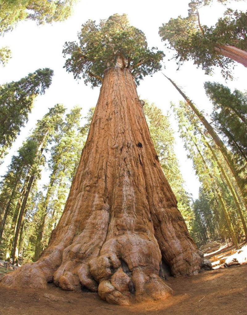 Самое крупное дерево на Земле
