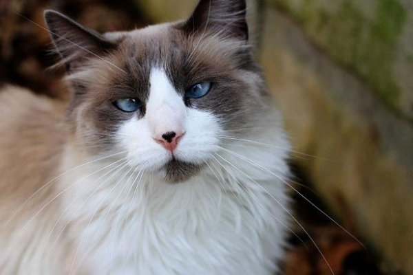 Невероятно милые и очаровательные косоглазые коты