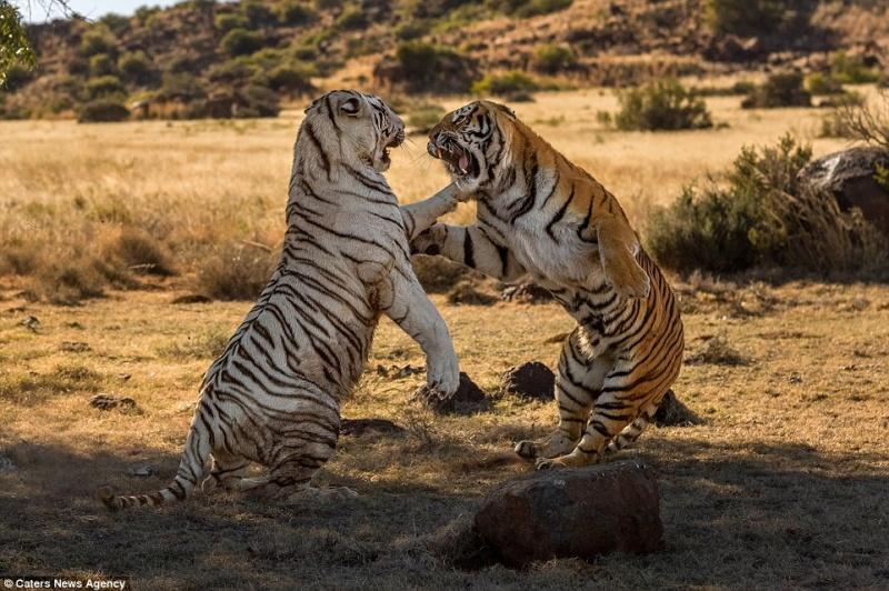 Две тигрицы устроили схватку за территорию