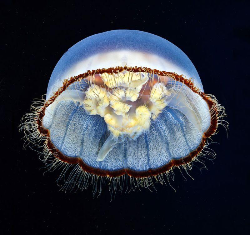 Невероятно красивые фотографии медуз