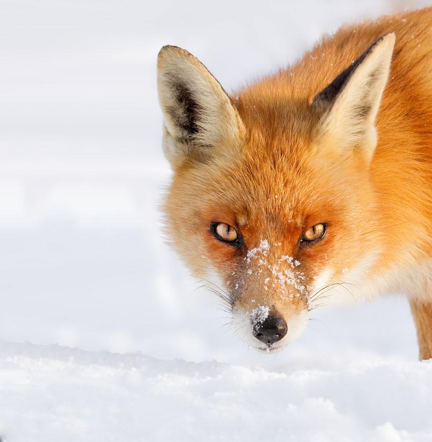 Красивые картинки про лисичек